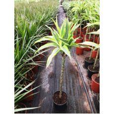 Dresena Çiçeği bitkisi Tijli Dracaena Fragrans 120-140 Cm
