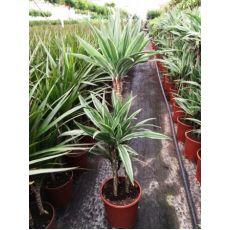 Dresena Çiçeği bitkisi Dracaena Warneckii 90-110 Cm