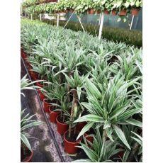 Dresena Çiçeği bitkisi Yerli  Dracaena Warneckii 90-110 Cm