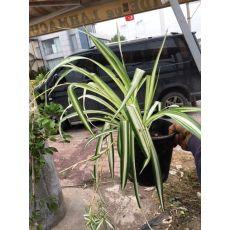 Kurdele Çiceği Chlorophytum Comosum 35-45 Cm
