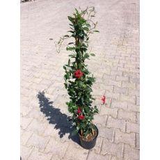 Mandevilla Dipladenia Üçgen bambuda Kırmızı Çiçekli 100-120 Cm