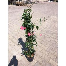 Mandevilla Dipladenia Üçgen Bambuda Pembe Çiçekli 100-120 Cm