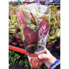 Maranta Çiçeği tricolor İthal Maranta Leuconeura Fascinator 20 Cm