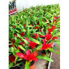 Neogereliya Çiçeği İthal Neogerelia 20 Cm