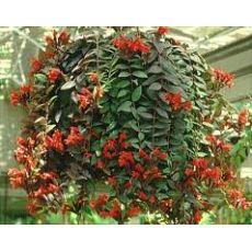 Ruj Çiçeği Aeschynanthus Radicans 40-50 Cm