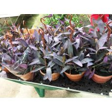 Telgraf Çiçeği Mor Yapraklı Askılı Saksıda Tradescantia Purple Heart