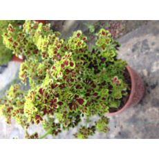 Yaprak Güzeli Çiçeği Mini Yapraklı Kolyoz Coleus blumei