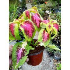 Yaprak Güzeli Çiçeği Kolyoz Coleus blumei 10-15 Cm