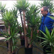 Yukka Bitkisi Yucca Massengena 4 lü Dikim 140-150 Cm