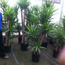 Yukka Bitkisi Yucca 5 li Dikim 160-170 Cm