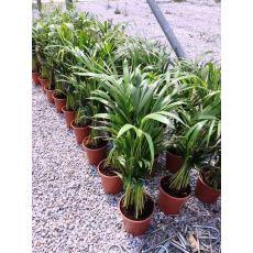 Areka Palmiyesi Areca Lutescens 100-120 Cm