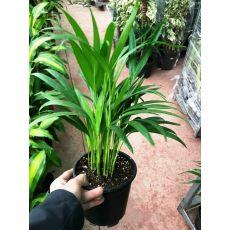 Havayı temizleyen Areka Palmiyesi Areca Lutescens 40-60 Cm
