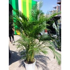 Areka Palmiyesi Areca Lutescens 200-225 Cm
