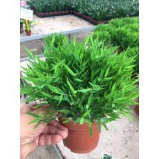 Bambu Fidanı İthal Bambusa Monica 15-20 Çapı