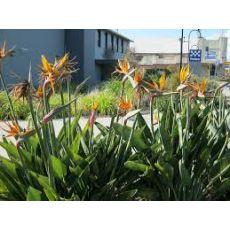 Cennet Kuşu Çiçeği İthal Turna Gagası Starlice Fidani Strelitzia Regina 200_250 Cm
