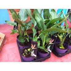 Cennet Kuşu Çiçeği Turna Gagası Starlice Fidani Strelitzia Regina İthal 30-40 Cm