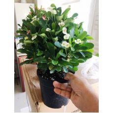 Dikenler Tacı Beyaz Çiçekli Euphorbia Milii 30-35 Cm Boyunda