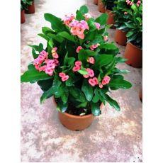 Dikenler Tacı Pembe Çiçekli Euphorbia Milii 30-35 Cm Boyunda