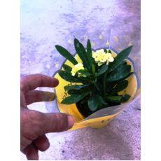 Dikenler Tacı Sarı Çiçekli İthal Euphorbia Milii 20 Cm Çapında