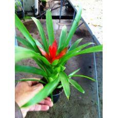 Guzmanya Çiçeği İthal Guzmania 20 Cm