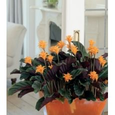 Kalatya Çiçeği İthal Calathea Crocata