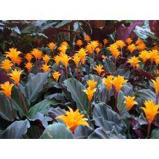 Kalatya Çiçeği İthal Calathea Crocata 40 Cm