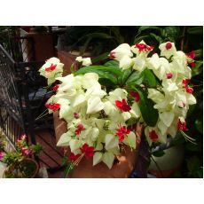 Kızılay Çiçeği Sarmaşığı Askılı Saksıda Clerodendrum Thomsoniae
