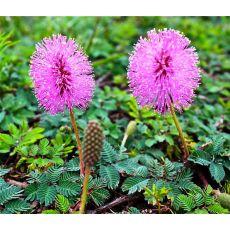 Küstüm Sana Çiçeği Mimosa pudica
