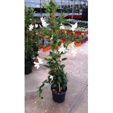 Mandevilla Dipladenia Beyaz Çiçekli 90-110 Cm