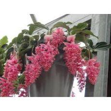 Medinilla Çiçeği İthal 40-50 Cm