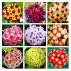 Mum Çiçeği Kokulu Hoya Carnosa Çiçek Verir Halde