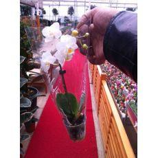 Minyatür Beyaz Orkide Çiçeği Bodur Orkide Çiçeği İthal 0rchidee Phalaenopsis 15-20 Cm