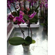 Minyatür Orkide Çiçeği Bodur Orkide Çiçeği İthal 0rchidee Phalaenopsis 15-20 Cm