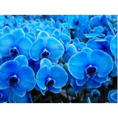 Orkide Çiçeği Mavi İthal 0rchidee Çift Dallı 40-50 Cm