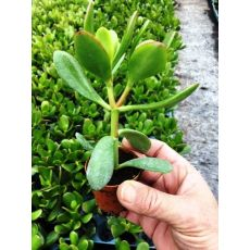 Para Ağacı Bereket Bitkisi Crassula Ovata 5-7 Cm