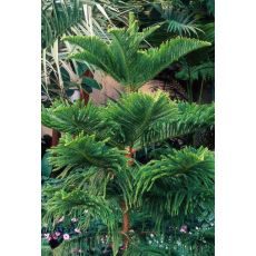 Salon Çamı Araucaria Heterophylla Tekli Dikim 120-140 Cm