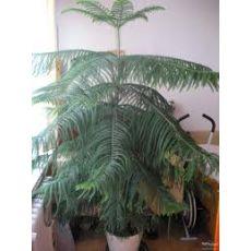 Salon Çamı Araucaria Heterophylla 175-200 cm