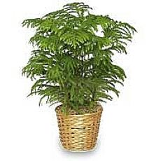 Salon Çamı Araucarıa Heterophylla 20-40 Cm