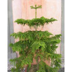 Salon Çamı Araucaria Heterophylla Tekli Dikim 100-120 Cm