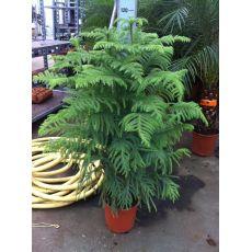 Salon Çamı İthal Araucarıa Heterophylla 3 LÜ Dikim 130-150 Cm