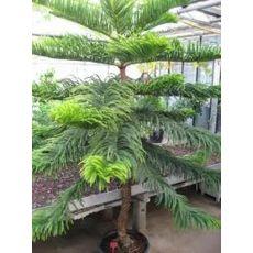 Salon Çamı Araucarıa Heterophylla 60-70 Cm