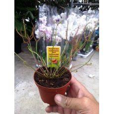 Sinekkapan Bitkisi Çiçeği İthal Telli 10-15 Cm Boyu