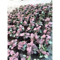 siyngonum Sarmaşığı Bitkisi Syngonium Red 20 Cm Çapı