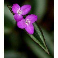 Telgraf Çiçeği Alacalı Tradescantia Zebrina