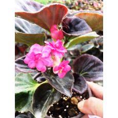 Yağlı Begonya Çiçeği Koyu Pembe Çiçekli 15-20 Cm
