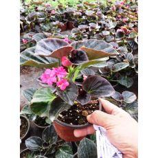 Yağlı Begonya Çiçeği 15-20 Cm