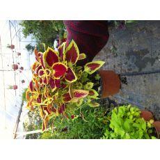 Yaprak Güzeli Çiçeği Kolyoz Coleus blumei