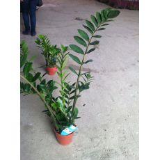 Zamia Çiçeği İthal 50-60 Cm