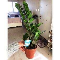 Zamia Çiçeği İthal 30-35 Cm