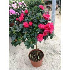Açelya Çiçeği Tijli Azalea Japonica 40-50 Cm